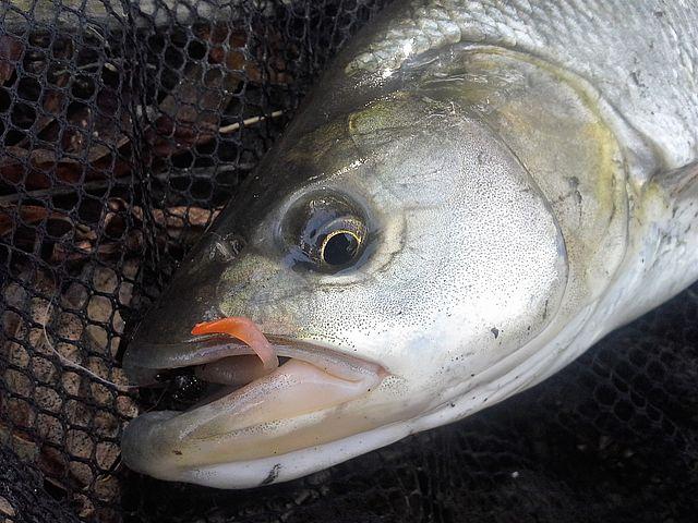 Jesienne ryby-01
